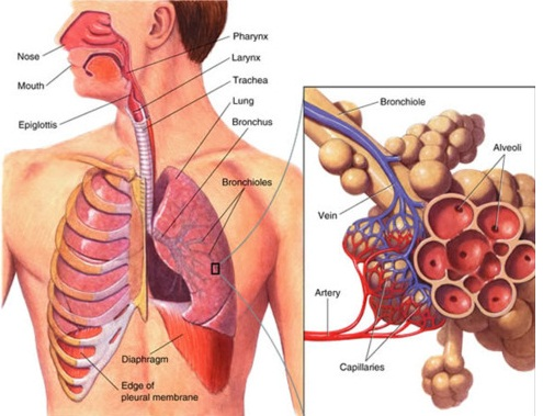 lungs function | med-health, Cephalic Vein