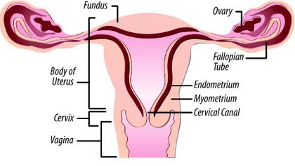 what is the function of the uterus? | med-health, Cephalic Vein