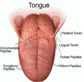 Inflamed Taste Bud | Med-Health.net