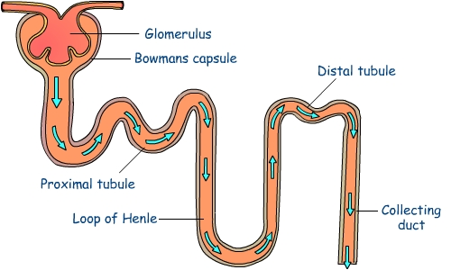 What are the functions of nephron med health function of nephron ccuart Images